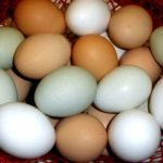 10 strategies for raising backyard chickens for novices