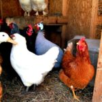 An effective chicken house design reduces winter health problems – countryside network