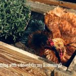 An operating help guide to keeping chickens: chicken basics