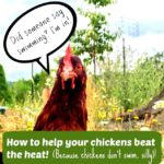 Beginning chicken keeping: mistakes to prevent, and just how we survived our newbie! (funny story with useful advice).