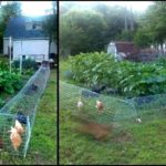 Building a do it yourself backyard chicken tunnel