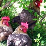 How to maintain your backyard chickens healthy during the cold months