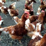 Our hens — say hay farms