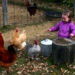 Raising chickens around children: what's the actual risk?