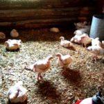 Start raising chickens