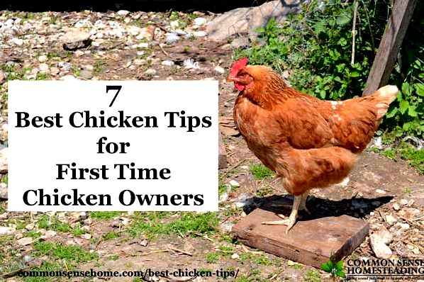 Get your flock started with the best chicken tips - How to buy chickens,