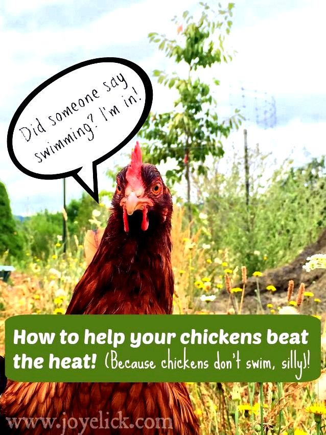 Beginning chicken keeping: mistakes to prevent, and just how we survived our newbie! (funny story with useful advice). killer dog roaming my