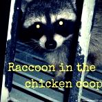 Raccoon in the Chicken Coop  Hoemstead Wishing, Author Kristi Wheeler  http://homesteadwishing.com/raccoon-in-the-chicken-coop/ ‎  #chickens #predators #chickenlady