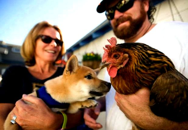 Chicken house tour in laguna beach offers a glance at back-to-basics living – oc register own food, collects rainwater