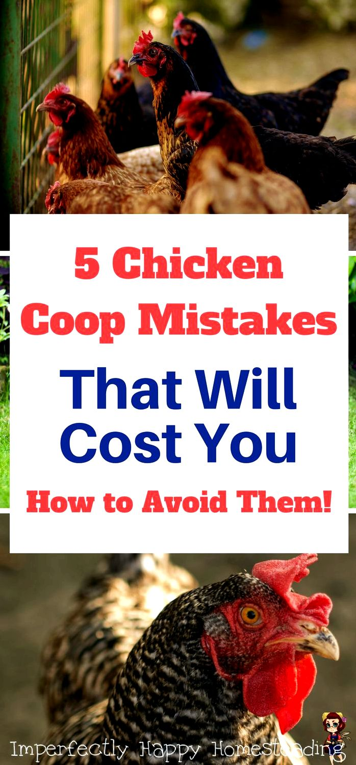 Chickens for purchase – 6 mistakes to prevent when purchasing chickens - the self-sufficient harmful to