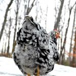 Winter chicken care: common questions and solutions