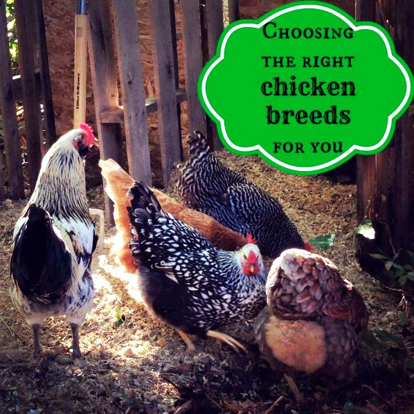With so many unique breeds of chickens to choose from, how do you pick the best ones for you?